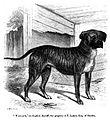 137. English Mastiff.JPG