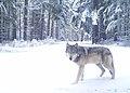 200325 Indigo wolf (51145152781).jpg