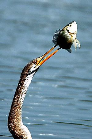 Oriental darter - Fish that has been speared is brought above the surface, tossed free and swallowed head-first