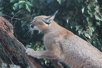 Caracals are efficient climbers. 20120219 Olmense Zoo (64).jpg