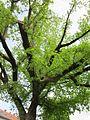 20130429Eschen-Ahorn Hockenheim3.jpg
