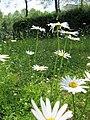 20130608Leucanthemum vulgare2.jpg