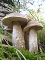 2014-10-17 Leccinum duriusculum (Schulzer ex Kalchbr.) Singer 514499.jpg