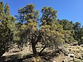 2015-04-28 10 31 58 An older Mountain Mahogany in South Fork Maverick Canyon, Nevada.jpg