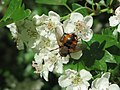 20150504Tachina fera on Crataegus monogyna8.jpg