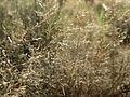 20151001Agrostis capillaris3.jpg