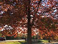 2016-11-12 15 26 54 Pin Oak displaying autumn foliage in Franklin Farm Park in the Franklin Farm section of Oak Hill, Fairfax County, Virginia.jpg