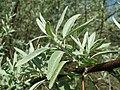 20160507Elaeagnus angustifolia1.jpg