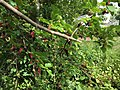 2017-05-29 16 26 57 Red Mulberry branches with leaves and fruit at the intersection of Lees Corner Road (Virginia State Secondary Route 645) and Old Dairy Road in the Franklin Farm section of Oak Hill, Fairfax County, Virginia.jpg