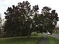 2017-11-18 16 19 15 A Bradford Pear starting to slowly split apart along Stone Heather Drive in the Franklin Farm section of Oak Hill, Fairfax County, Virginia.jpg