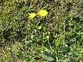 2018-05-13 (230) Tragopogon pratensis (Jack-go-to-bed-at-noon) at Bichlhäusl in Frankenfels, Austria.jpg