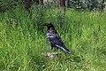 2018-08-19 Common raven (Corvus corax) in Jasper National Park 0735.jpg
