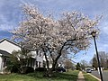 2020-03-22 13 58 01 Flowering Cherries blooming along Hidden Meadow Drive in the Franklin Glen section of Chantilly, Fairfax County, Virginia.jpg