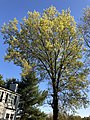 2020-04-15 18 02 57 Pin Oak blooming along Tranquility Court in the Franklin Farm section of Oak Hill, Fairfax County, Virginia.jpg