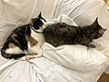 2020-04-30 11 41 29 A Calico cat and a tabby cat cuddling on a couch in the Franklin Farm section of Oak Hill, Fairfax County, Virginia.jpg