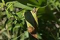20200531Pholidoptera griseoaptera01.jpg