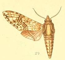 24-Poliana buchholzi (Plötz, 1880) (Protoparce weiglei).JPG