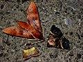 37 Moths of Grasberg Grasberg Mine Papua-Indonesia.jpg