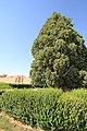 4,000-year-old Iranian cypress (6223140865).jpg