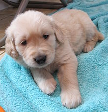 5-week-old Golden Retriever puppy.jpg