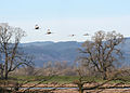 6600 sandhill crane munsel ODFW (4421088278).jpg