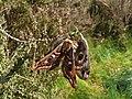 68.001 BF1643 Emperor Moth, Saturnia pavonia, mating pair. (2497207661).jpg