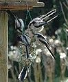 6 long-tailed tits at feeding crops in the garden at Arnhem-Schaarsbergen - panoramio.jpg