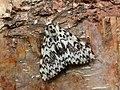 72.010 BF2033 Black Arches, Lymantria monacha (3122408117).jpg
