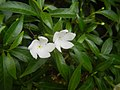 9639Ornamental plants in the Philippines 13.jpg
