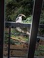 A Grey hornbill.jpg
