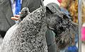 A Kerry Blue Terrier.jpg