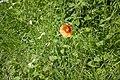 A Poppy (geograph 5841719).jpg