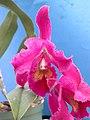 A and B Larsen orchids - Brassolaeliocattleya Korat Sunset DSCN4424.JPG