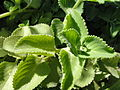 A closeup of Indian Borage.JPG