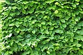 A green wall of leaves 6387.jpg