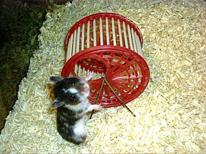 English: A hamster and a hamster wheel