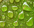 A macro shot of rain on a leaf of Jatropha.jpg