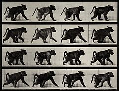 A monkey walking. Photogravure after Eadweard Muybridge, 188 Wellcome V0048781.jpg