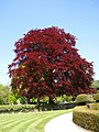 A red tree....that's it^ - geograph.org.uk - 103707.jpg