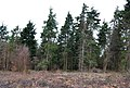 A stand of conifers, Clowes Wood - geograph.org.uk - 1211426.jpg