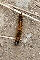 A yellow caterpillar.jpg