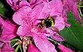 Abejorro polinizando un rododendro (II) (447752183).jpg