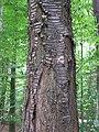 Abgestorbener Baum DSCF4735.jpg