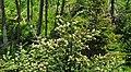 Abies fraseri (Fraser fir) (Clingmans Dome, Great Smoky Mountains, North Carolina, USA) 4 (37014813045).jpg