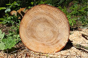 Abies grandis - Trunk cross-section