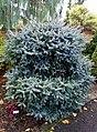 Abies pinsapo 'Horstmann' - Oregon Garden - Silverton, Oregon - DSC00267.jpg