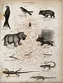 Above, a swift, a swallow, a hyrax, an insect, a hippopotamu Wellcome V0020670EL.jpg