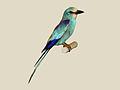 Abyssinian Roller specimen RWD.jpg