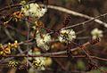 Acacia chariessa02.jpg