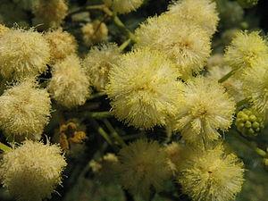 Acacia mearnsii3